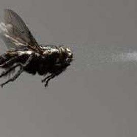 mosquito pest